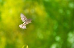 воробей летания Стоковые Фотографии RF