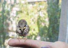 Воробей молодой птицы в мужских руках Стоковое Фото
