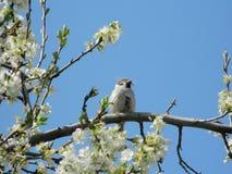 Воробей на blossoming вишне Стоковая Фотография