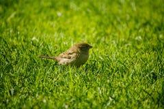 Воробей дома сидя на свежей траве Стоковое Изображение RF