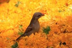 Воробей дома с желтой предпосылкой цветка Стоковые Фото
