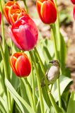 Воробей отдыхая на тюльпанах Стоковое фото RF
