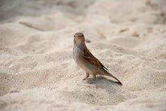 воробей песка Стоковые Изображения