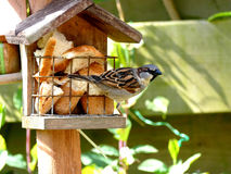 Воробей подавая на birdhouse Стоковое фото RF