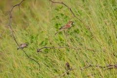 Воробей подпертый равниной стоя на ветви Стоковое Изображение