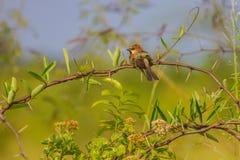 Воробей подпертый равниной стоя на ветви Стоковое фото RF
