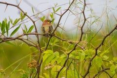 Воробей подпертый равниной стоя на ветви Стоковое Фото
