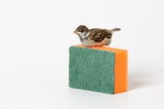 Воробей птенеца при губка для моя блюд, изолированная на w Стоковые Фото