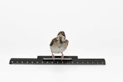 Воробей птенеца при правитель смотря устрашенный, изолированный на w Стоковое фото RF