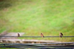 Воробей птицы в месте природы Стоковая Фотография