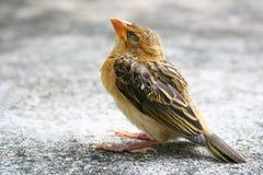 воробей птицы маленький Стоковое Изображение