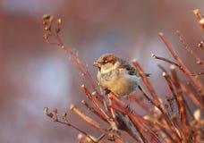 Воробей птицы сидит среди ветвей искупанных в солнечном свете Стоковые Изображения