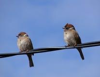 Воробей птицы Стоковое Изображение
