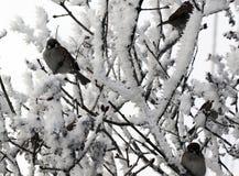Воробей садить на насест на снеге покрыл ветвь дерева Стоковые Изображения RF