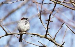 Воробей сидя на ветви груши Стоковое Изображение