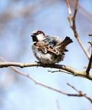 Воробей сидя на ветви груши Стоковые Фотографии RF