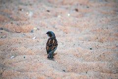 Воробей сидя на песке стоковые изображения rf