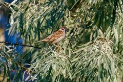 Воробей сидит на ветвях одичалого оливкового дерева Стоковые Изображения