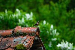Воробей сидя на крыше Стоковая Фотография RF