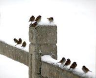 воробей снежка дома Стоковые Фото