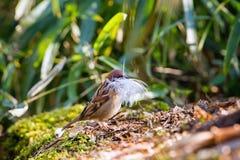 Воробей собирает материал для строить гнездо Стоковая Фотография RF
