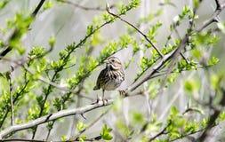 Воробьинообразная птица воробья песни в отпочковываясь дереве весной, Georgia США Стоковое фото RF