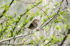 Воробьинообразная птица воробья песни в отпочковываясь дереве весной, Georgia США Стоковая Фотография RF
