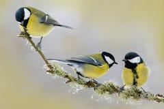 Воробьинообразная птица 3 Майора синицы, Parus птицы сада воробьинообразная птица большого, черных и желтых сидя на славной ветви Стоковые Фото