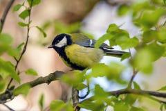 Воробьинообразная птица синицы на ветви Стоковые Фото