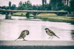 Воробьи в городе, сетноой-аналогов фильтр стоковая фотография rf