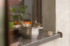 Воробьи едят вверх по остаткам от бака на windowsill вне дома Стоковое Фото