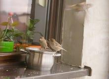 Воробьи едят вверх по остаткам от бака на windowsill вне дома Стоковое Изображение RF