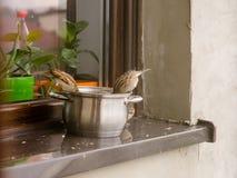 Воробьи едят вверх по остаткам от бака на windowsill вне дома Стоковые Фото