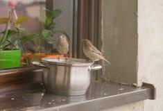 Воробьи едят вверх по остаткам от бака на windowsill вне дома Стоковая Фотография RF