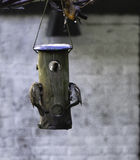 Воробьи есть тучные шарики Стоковые Фотографии RF