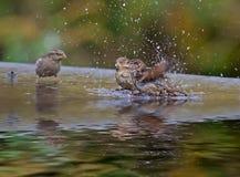 Воробьи купая Стоковое Фото