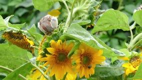 Воробьи клюют семена солнцецвета видеоматериал