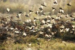 воробьи летания сумрака Стоковая Фотография