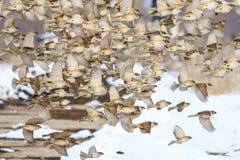 Воробьи летают в шатию в зиме Стоковое Изображение