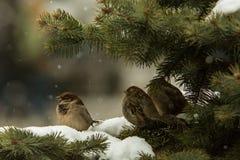 Воробьи на ели Стоковые Фотографии RF