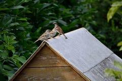 Воробьи на крыше Стоковая Фотография RF