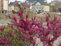 Воробьи на цветя кусте cercis стоковые изображения rf