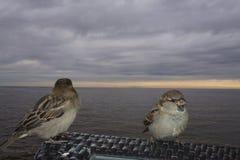 Воробьи сидя на стенде на пляже Стоковая Фотография RF