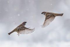 2 воробья в небе в пурге Стоковая Фотография RF