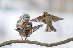 2 воробья на ветви в снеге бушуют Стоковое Изображение