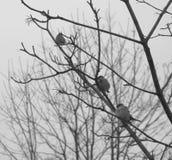 3 воробья на ветви дерева Стоковые Фото