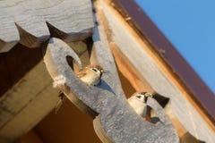2 воробья на деревянной крыше Стоковое Изображение RF