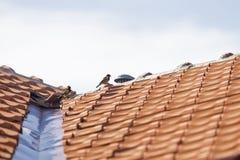 2 воробья на крыше Стоковые Фотографии RF