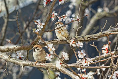 2 воробья на цветя ветвях дерева абрикоса Стоковые Фотографии RF