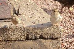 2 воробья около, который нужно лететь Стоковое Изображение